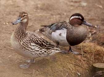 Knäkenten-Pärchen (Anas querquedula), links ist das Weibchen, rechts das Männchen, © GrahamC57 via Flickr