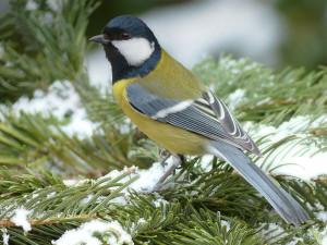 Kohlmeise im Winter, © Oldiefan / Pixabay
