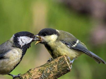 Jugendliche Kohlmeise (rechts) wird von einem Altvogel gefüttert, © fra298 via Flickr