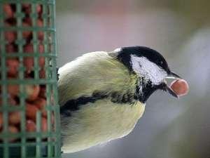 Nüsse und Nussbruch sind wertvolle und energiehaltige Futtermittel, die vielen Wildvogelarten gut schmecken, © Kurt Bouda / Pixelio.de