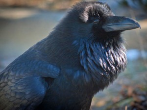 Imponierender Kolkrabe (Corvus corax), © David Bush via Flickr