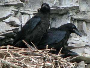 Junge Kolkraben im Nest, © Per Verdonk via Flickr