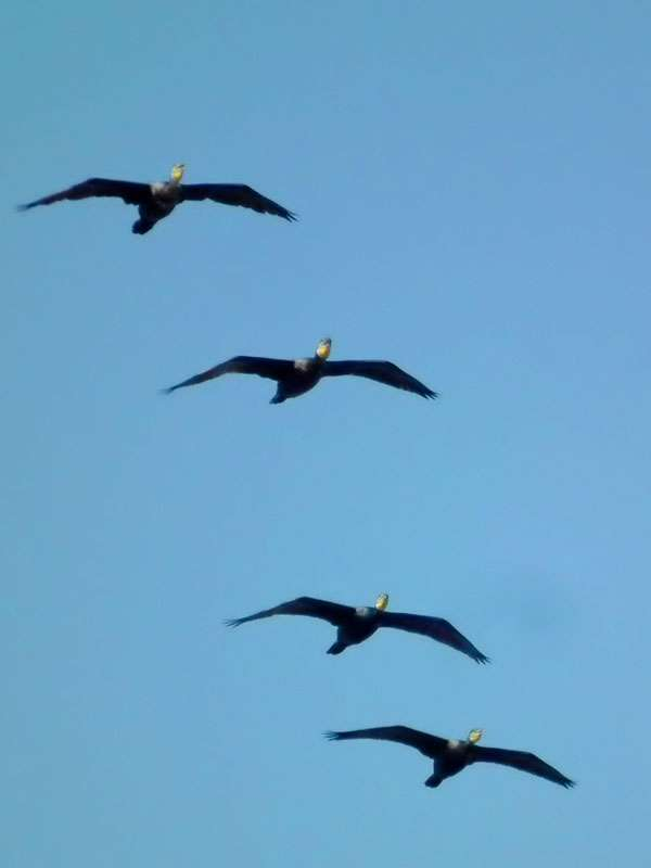 release date: df1a1 0f5de Formationsflug - Wildvogelhilfe.org