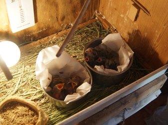 Nestlinge bringt man am besten in einem Nestersatz unter, der in einer Wärmebox steht; die Tür dieses Schranks lässt sich verschließen, © Ewald Ferlemann