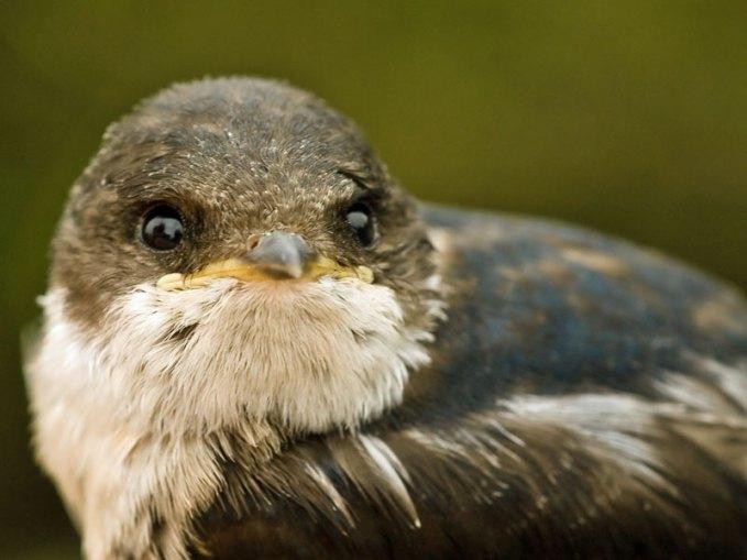 Jugendliche Mehlschwalbe, © Mark Robinson via Flickr