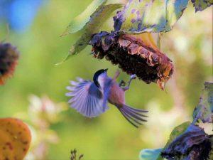 Mit Sonnenblumen kann man relativ schnell Vögel in einen naturnahen Garten locken, © Schanin / Pixabay