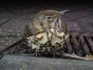 Diese Misteldrossel braucht Hilfe, und das trotz der Tatsache, dass ihre Art in Deutschland nicht vom Aussterben bedroht ist, © weegeebored via Flickr