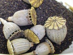 Mohnsamen werden von kleinen Körnerfressern im Winter gern angenommen, © Cynthia Cheney via Flickr