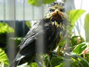 Mit so einem durchweichten Gefieder sind Vögel flugunfähig, © Jennifer Jürgens