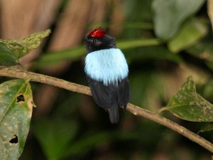 Männlicher Prachtpipra (Chiroxiphia pareola), © Dominic Sherony via Flickr