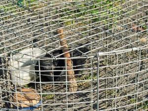 Es ist illegal, und doch kommt es leider immer wieder vor, dass Vögel wie diese Rabenkrähe in einer Lebendfalle gehalten werden, © Dagmar Offermann