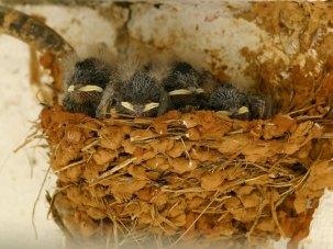 Jeunes hirondelles rustiques dans le nid, © Jose Sousa via Flickr