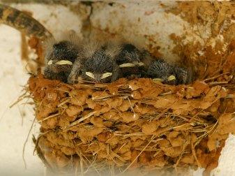 Junge Rauchschwalben im Nest, © Jose Sousa via Flickr