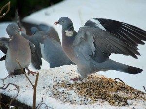Ringeltauben nehmen im Winter gern verschiedene Sämereien, Nüsse und Fettfutter zu sich - und streiten dabei auch mal mit ihresgleichen, © Dougie Nisbet via Flickr