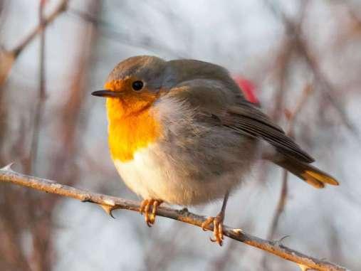 Während ein Vogel wie dieses Rotkehlchen (Erithacus rubecula) einen Ast umgreift, wendet er keine Kraft auf; erst beim Lösen des Griffs werden die Muskeln wieder aktiv, © Darren via Flickr