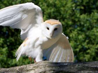Schleiereule (Tyto alba), © Kaz / Pixabay