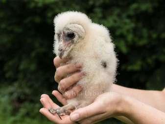 Junge Schleiereule, © Greifvogelhilfe.de