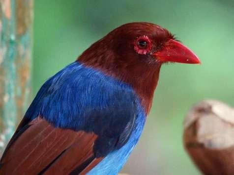 Der Schmuckkitta (Urocissa ornata) ist einer der farbenfrohesten Rabenvögel überhaupt, diese Art lebt ausschließlich in Sri Lanka, © Gaby Schulemann-Maier