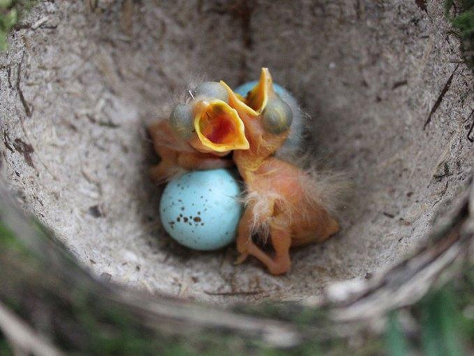 Junge Singdrosseln im Nest, © Nottsexminer via Flickr