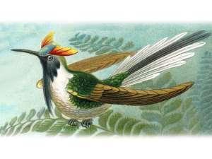 Sonnenkolibri (Heliactin bilophus), © Original: Ernst Haeckel, Foto: © PurpleHz via Wikipedia