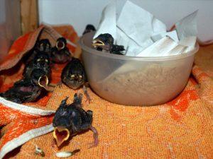 Junge Sperlinge betteln um Futter, © Anke Dornbach