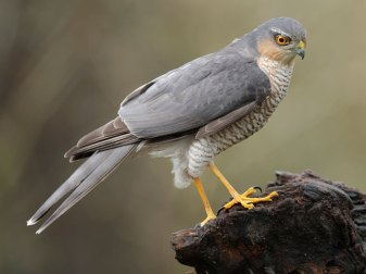 Männlicher Sperber (Accipiter nisus), © bzd1 via Flickr