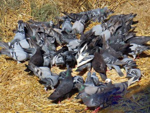 Taubenfütterung, © Antranias / Pixabay