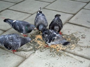 Wer ist wohl ekeliger? Die Menschen, die hemmungslos durch die Gegend kotzen oder die Tauben, die in Ermangelung artgerechter Nahrung sogar Erbrochenes fressen? Wohl eher die Menschen... © internets_dairy via Flickr