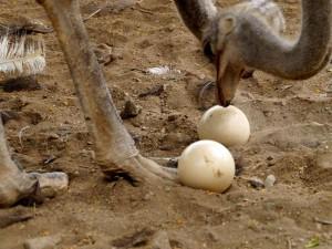 Eier des Afrikanischen Straußes (Struthio camelus), © Patsasha / Pixabay