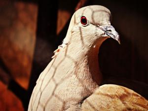 Nur noch ein Käfiggitter und ein wenig Gewöhnungszeit stehen bei der Auswilderung zwischen einer Taube und dem Leben in freier Natur, © LenaSevcikova / Pixabay