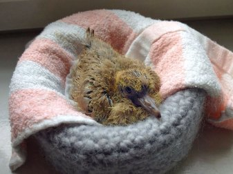 Junge Türkentaube im Nest, © Margareta Michna