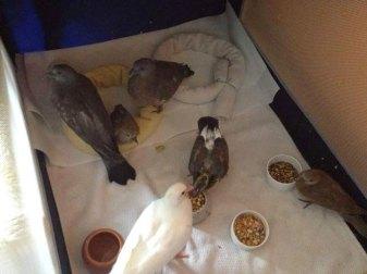 Junge Tauben, die in einem Kinderreisebett untergebracht sind, © Margareta Michna