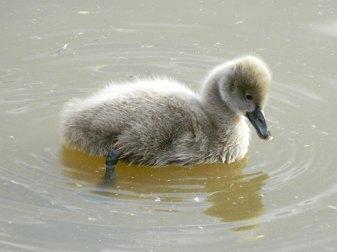 Junger Trauerschwan, © Michael Day via Flickr