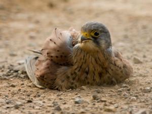 Mit einem Staubbad pflegen Vögel wie der Turmfalke ihr Gefieder und werden Parasiten los, © Stuart Richards via Flickr