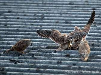 Vier junge Turmfalken, die im sogenannten Wildflug ausgewildert werden, © Sylvia Urbaniak