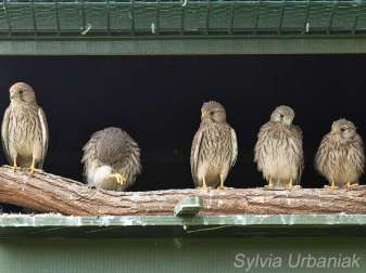 Diese jungen Turmfalken sitzen an der Ausflugöffnung und schauen sich die Umgebung an, © Greifvogelhilfe.de