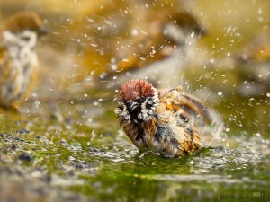 Ein Badeplatz wird von vielen Vögeln gern angenommen, so auch von diesem Feldsperling, © Irene Mei via Flickr