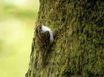 Waldbaumläufer (Certhia familiaris), © Frank Vassen via Flickr