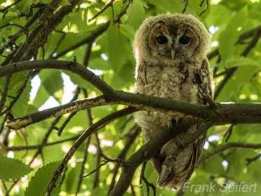 Ein junger Waldkauz in seinem Tageseinstand (Versteck), © Frank Seifert