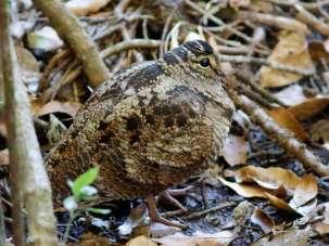 Waldschnepfe (Scolopax rusticola), © Dave Curtis via Flickr
