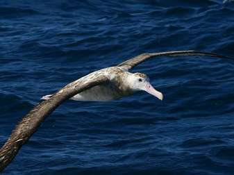 Wanderalbatros (Diomedea exulans), © David Cook via Flickr