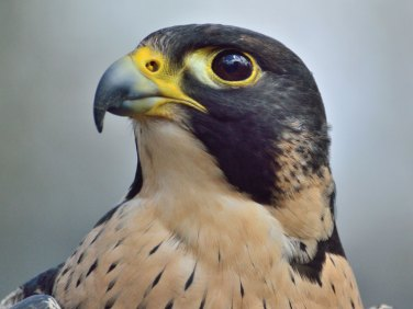 Wanderfalke (Falco peregrinus), © 70154 / Pixabay