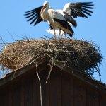 Weißstörche auf ihrem Nest, © blickpixel / Pixabay