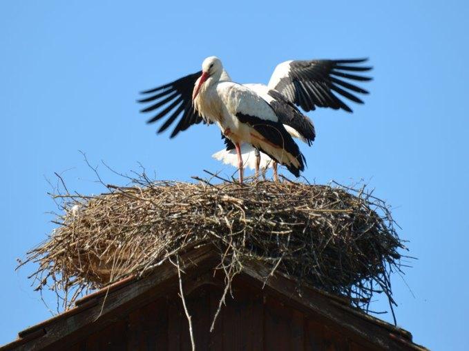 Weißstörche (Ciconia ciconia) auf ihrem Nest, © blickpixel / Pixabay