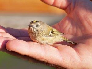 Wintergoldhähnchen auf einer Hand, © Pezibear / Pixabay