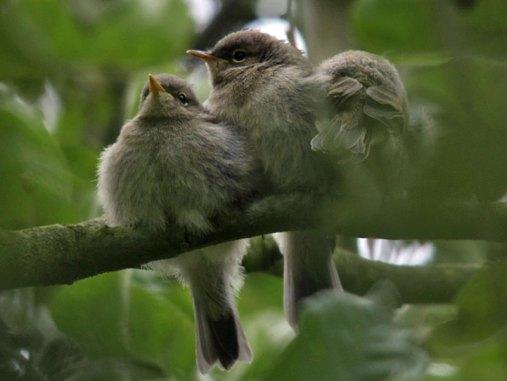 Junge Zilpzalpe (Ästlinge), © Geert Orye via Flickr