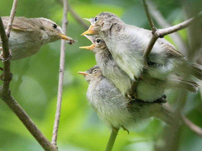 Junge Zilpzalpe (Ästlinge) werden von einem Altvogel gefüttert, © Thomas Erichsen