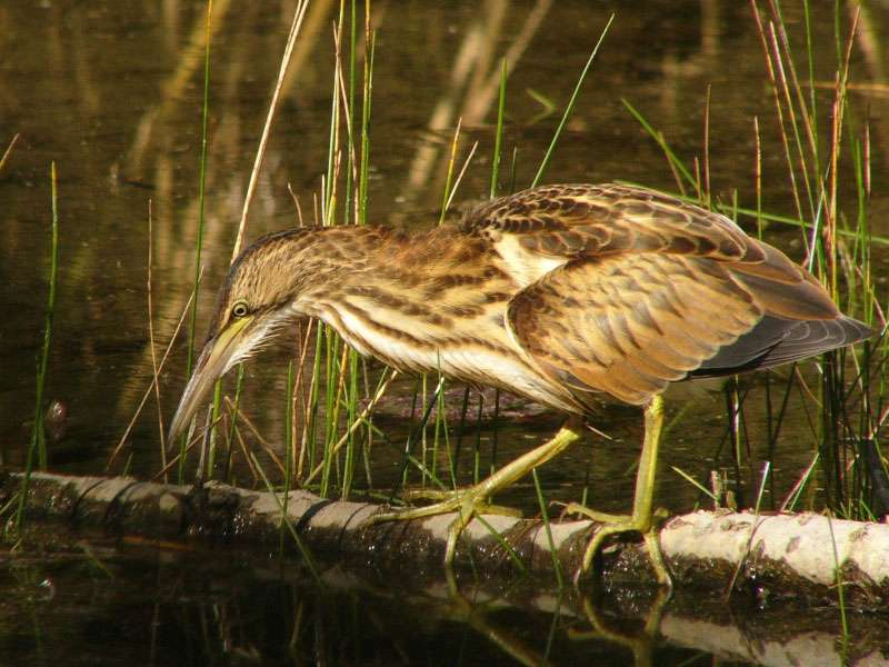 Weibliche Zwergdommel (Ixobrychus minutus), © Andrej Chudý via Flickr