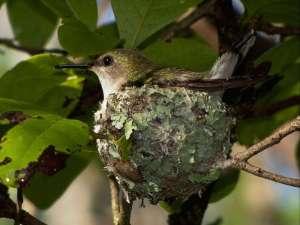 Weibliche Zwergelfe (Mellisuga minima) auf ihrem Nest, © Runesm via Wikipedia