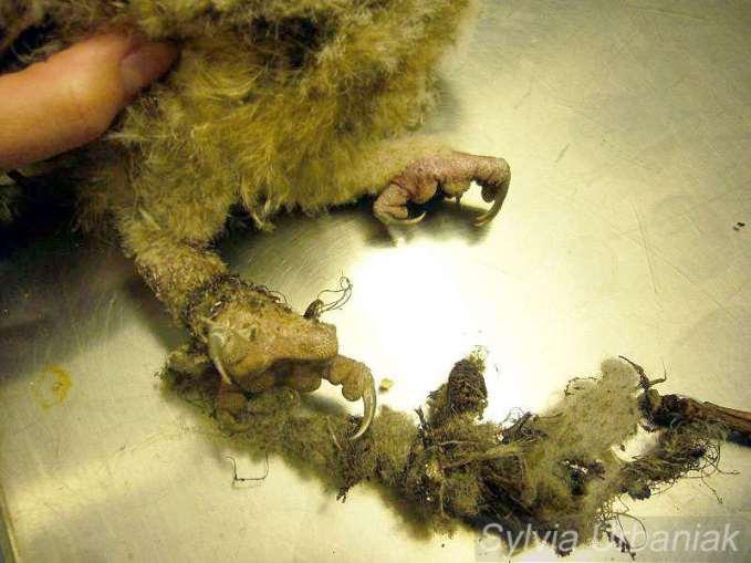Fäden und Nistmaterial haben das Bein eines jungen Waldkauzes abgeschnürt, © Greifvogelhilfe.de